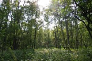Sonne zwischen Birken im Raakmoor