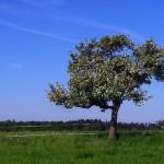 Apfelbaum von Nahem