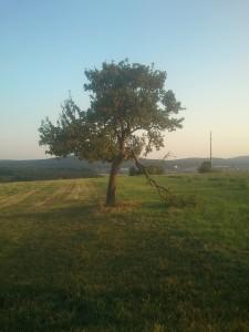 Apfelbaum mit gebrochenem Ast