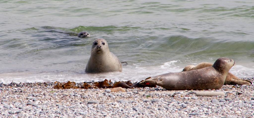 Seehunde-Helgoland